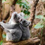 両肩で新生児横抱き可能!アップリカの新抱っこ紐「コアラ」がおすすめ!